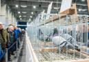 Największe w Polsce targi gołębi pocztowych zakończone